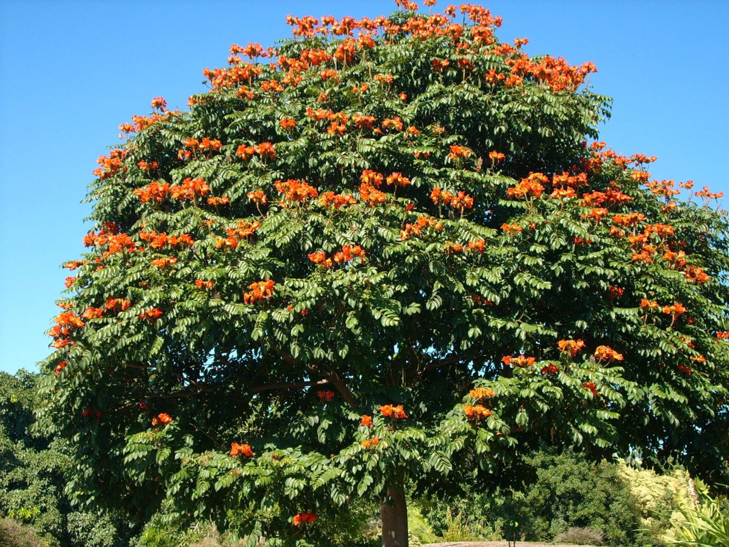 RED AFRICAN TULIP TREE Fire Tree Flower 15 Seeds ...